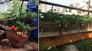 घरीच द्राक्षे, स्ट्राबेरी सारख्या फळांची लागवड