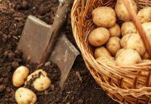 बटाटे खाण्याचे फायदे