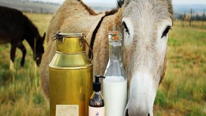 gadhvinichya dudhache fayde in marathi donkey milk rate