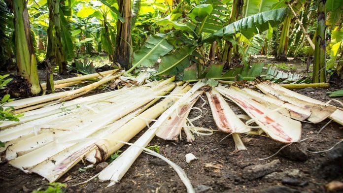 केळीच्या झाडाच्या कचऱ्यापासून
