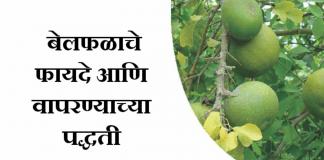 औषधी बेल फळ belache pan बेलाच्या फळाचे औषधी फायदे आणि त्याचा वापर करण्याच्या पद्धती